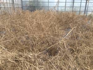 収穫したシマナのアップ