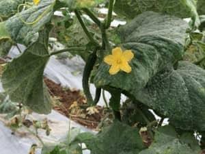 キュウリの花。ゴーヤーよりも小ぶりで黄色が鮮やか