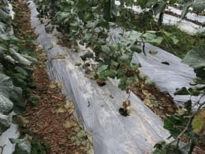 畝は白マルチで覆われ、50cm間隔で株が植えられている