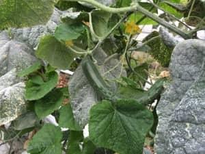 葉の表面に付着する石灰