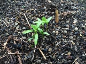 子葉から葉が生えてきた