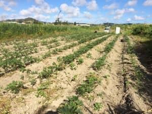 収穫できるほど成長したオクラ畑