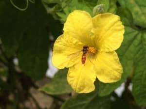 ホソヒラタアブの仲間とゴーヤーの花