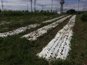 白マルチが敷かれた畝