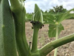 ミナミアオカメムシの幼虫