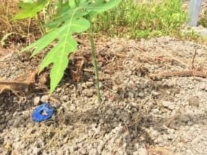 苗ポットの底を繰り抜き、植え付けられたパパイヤの苗