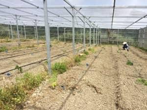 畝にそって等間隔で並べられたパパイヤの苗