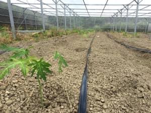 潅水チューブに沿って等間隔で植えられたパパイヤの苗