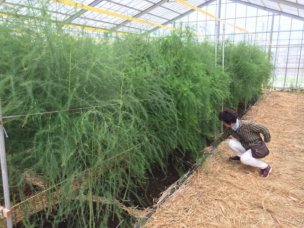 ハウス栽培のアスパラガス