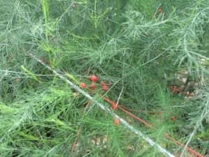 アスパラガスに成る真っ赤な実