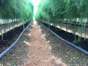 畝の両サイドに潅水チューブ