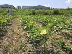台風被害から3週間、やっと花を咲かせたオクラ