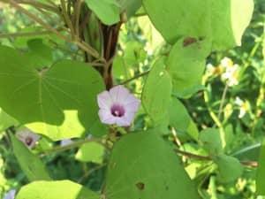 ホシアサガオの花は小さく綺麗