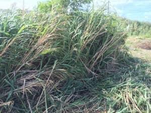 3メートルから5メートルほどの高さに茂ったススキ
