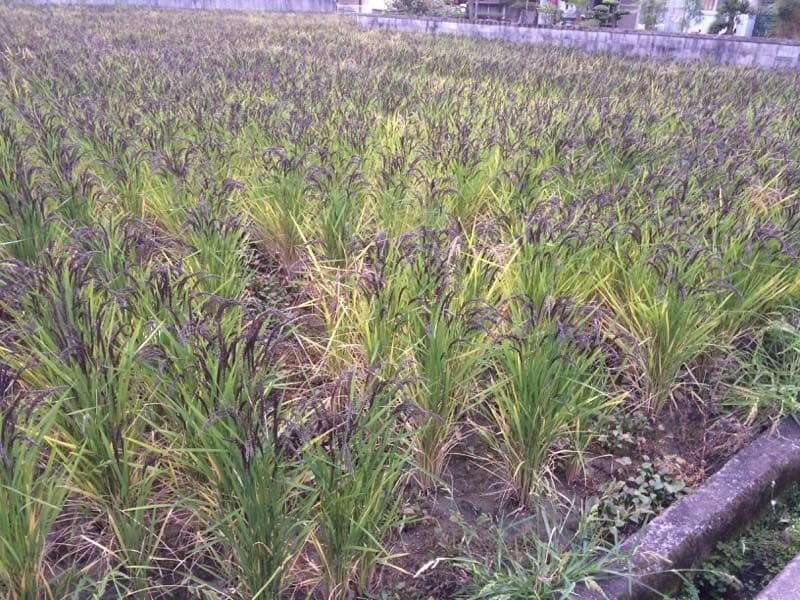 古代米の圃場