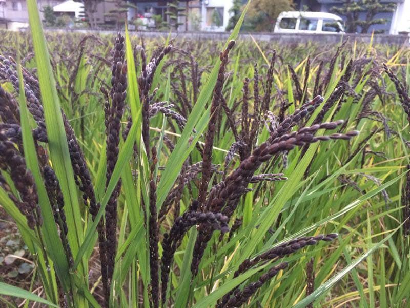 古代米の穂
