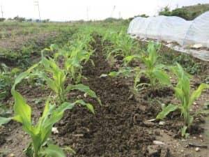 イエローポップの条間を中耕し、そこにヘアリーベッチをばら蒔き