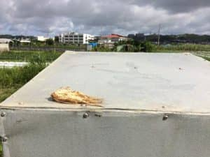 井戸小屋の屋根に放置されたトウモロコシの食べかす