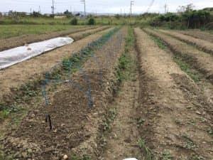 パクチーを植えるため畝を耕します