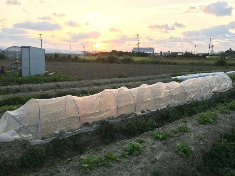 朝日に照らされるパクチー栽培用トンネル