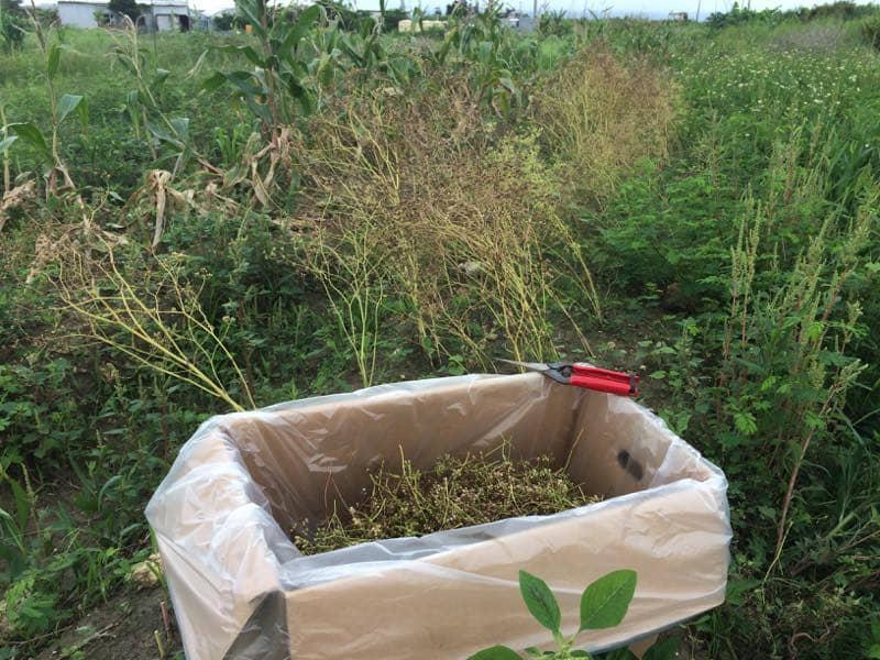 パクチーの種子を収獲