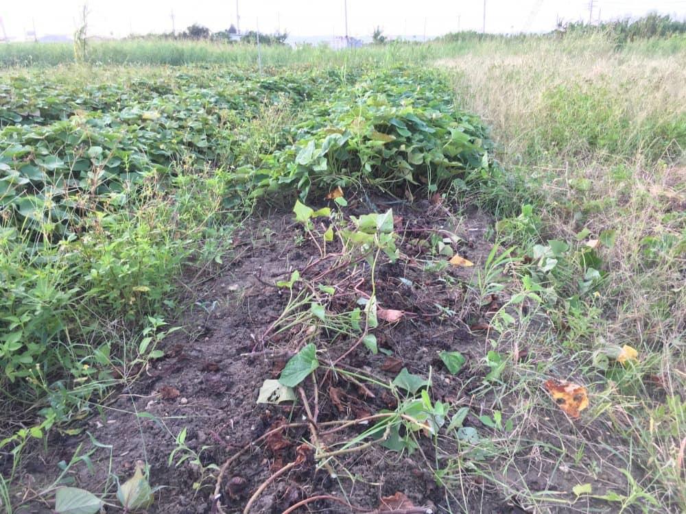 掘り出すためサツマイモの蔓を切る