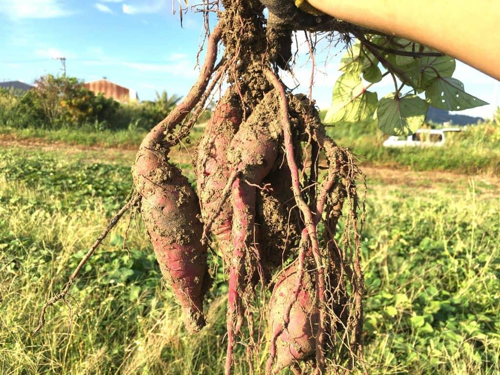 収獲したサツマイモが格好いい