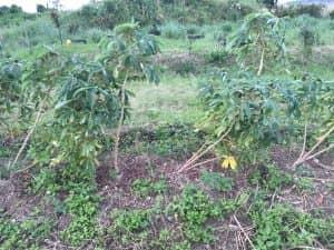 7ヶ月栽培したキャッサバ。倒伏した株はそのまま放任