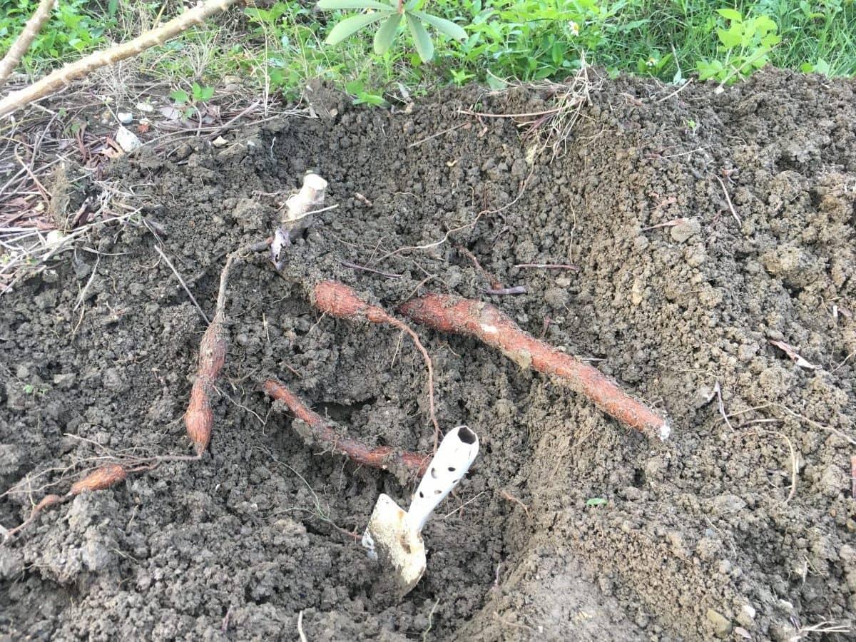 キャッサバの根をスコップで掘っている途中
