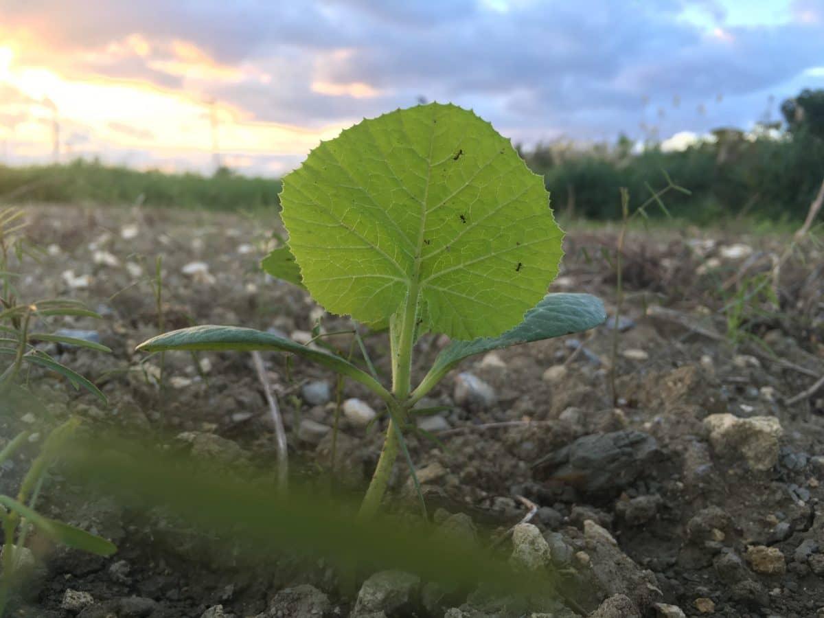 葉の裏にアリが目立ってきた。カボチャ播種から22日め