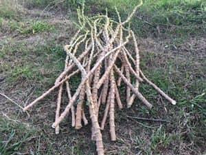 13本の株から得られた沢山のキャッサバ苗木