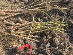 キャッサバの枝を、枝切り鋏で30cmほどに切り分ける