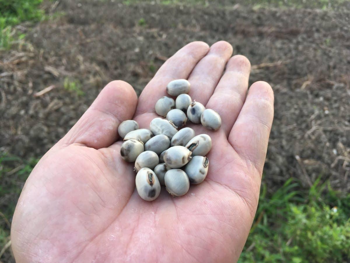 ムクナ豆を播種