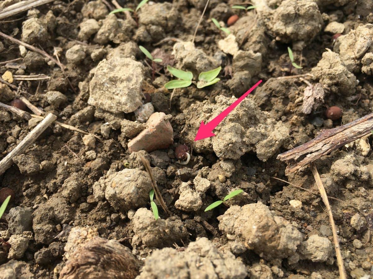 播種から4日で根が出始めるヘアリーベッチ