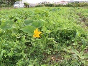 播種から48日のヘアリーベッチ。カボチャの混植と相性が良さそう