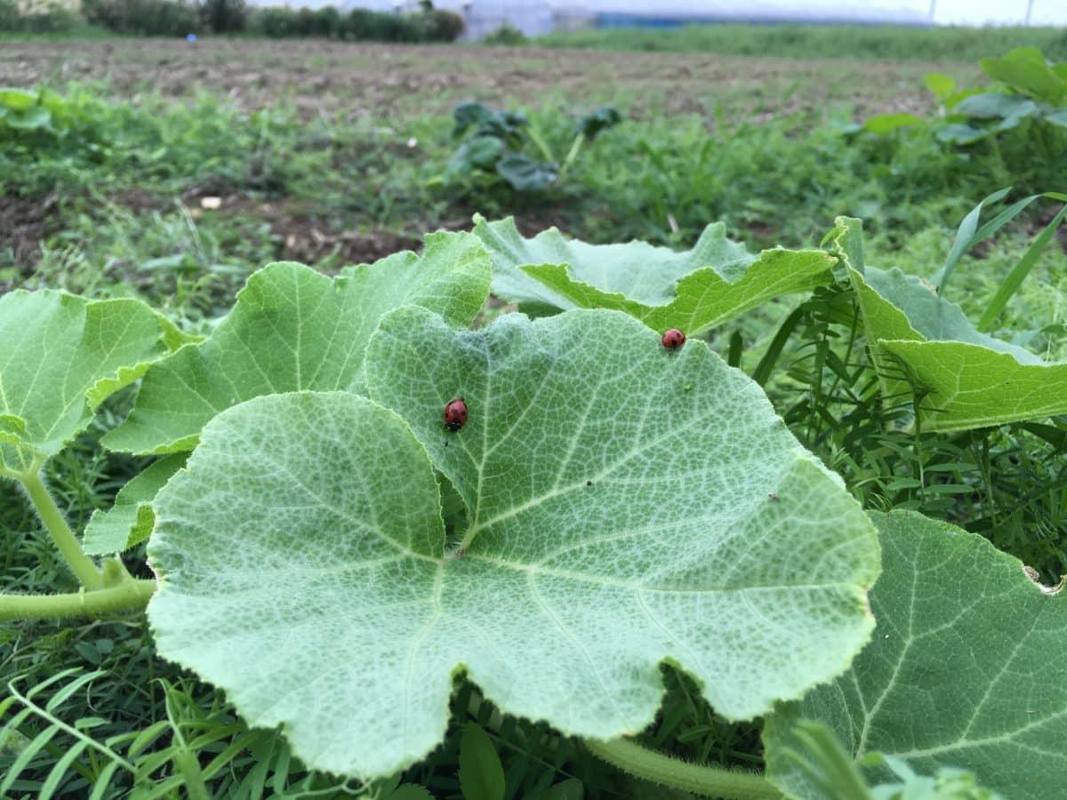 カボチャ畑に発生したナナホシテントウ