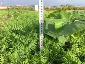 播種から51日のヘアリーベッチ。茂みの深さは20cmほどに