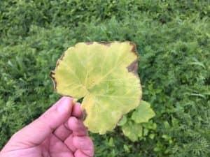 弱って黄色くなったカボチャの葉。切除。