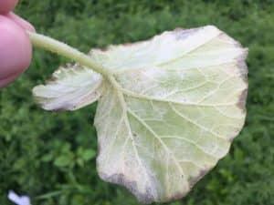 黄色くなったカボチャの葉を裏返すと、うどん粉病の菌糸がみっちり