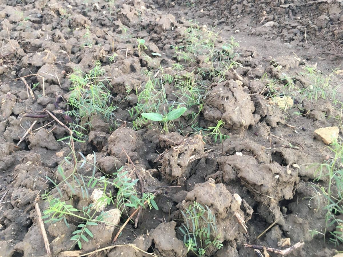 ズッキーニの芽がヘアリーベッチにまぎれている