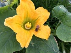 カボチャ金糸瓜の雌花にミツバチがとまっている