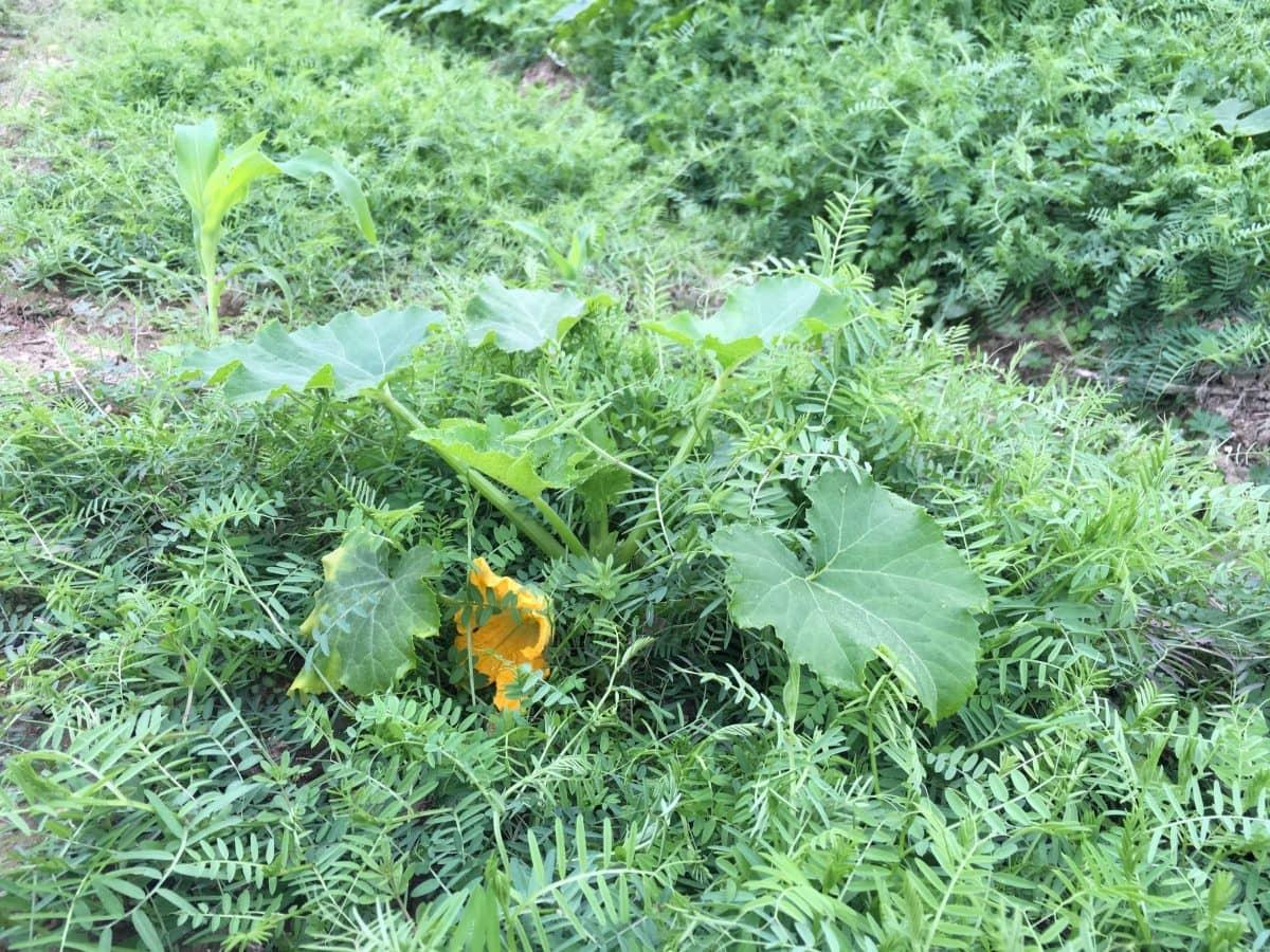 ズッキーニは播種から63日で開花