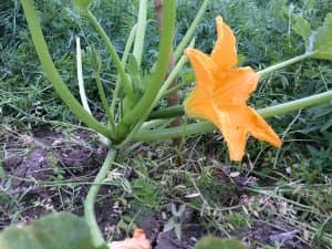 ズッキーニの雌花が開花