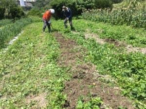 子供たちのためにジャガイモを掘りやすくする