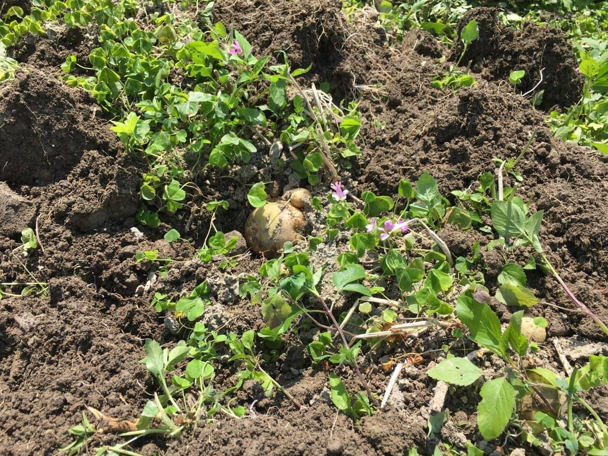 掘りやすく起こしたジャガイモの畝。イモチラ。