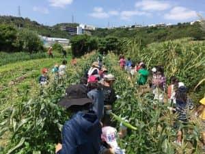 子供たちのトウモロコシ収穫体験