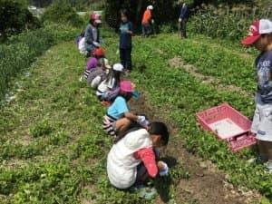子供たちのジャガイモ収穫体験
