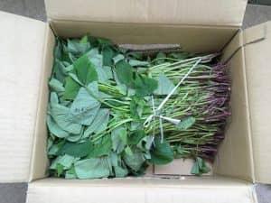 サツマイモの苗100本。鹿児島から取り寄せたもの