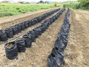 袋栽培で菅野式のサツマイモべにはるか。