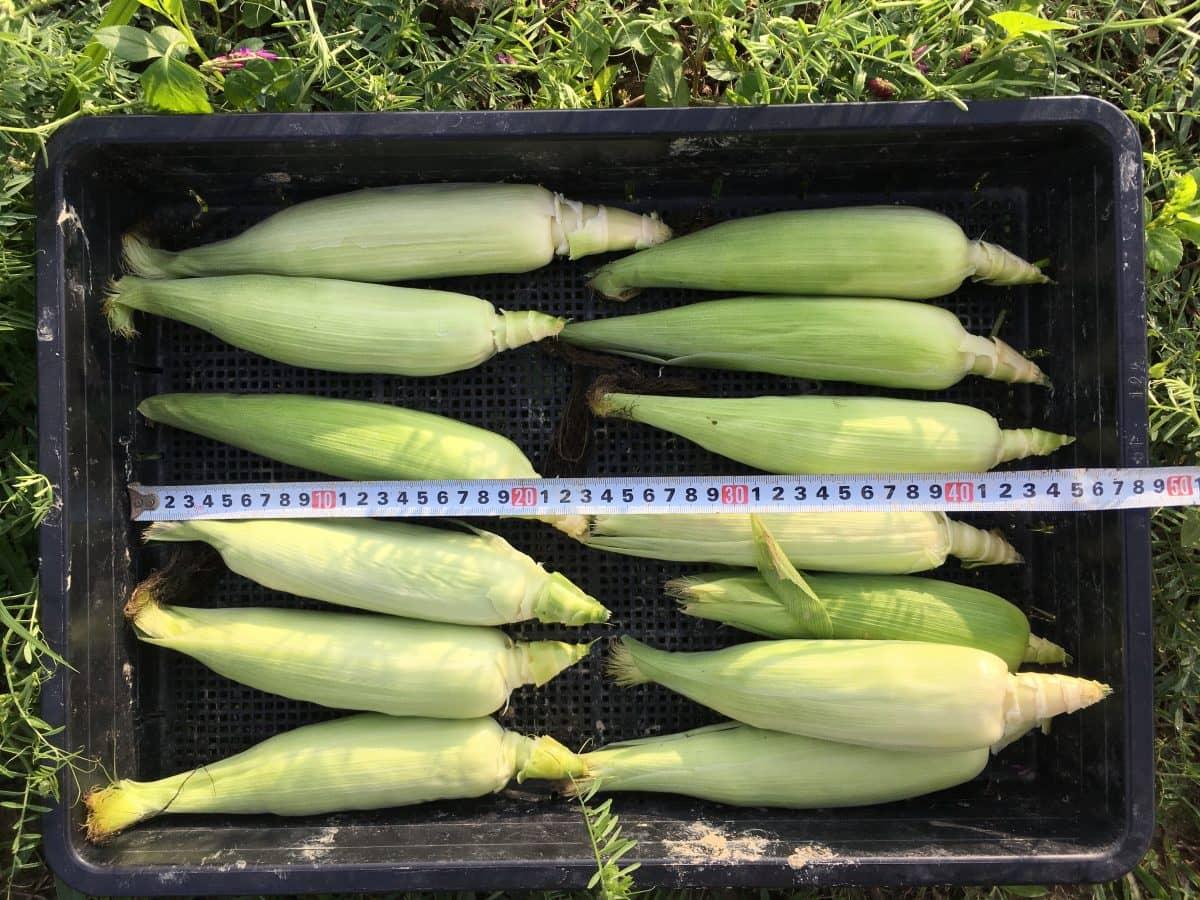 小ぶりのトウモロコシ。雨水のみで栽培した影響でしょうか